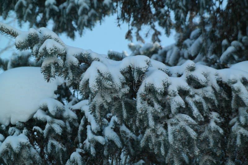 Sneeuw die op pijnboomboom bestrooien stock afbeeldingen