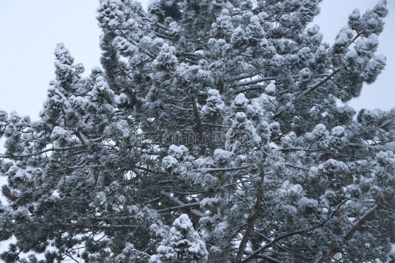 Sneeuw die op takken van een boom leggen royalty-vrije stock foto