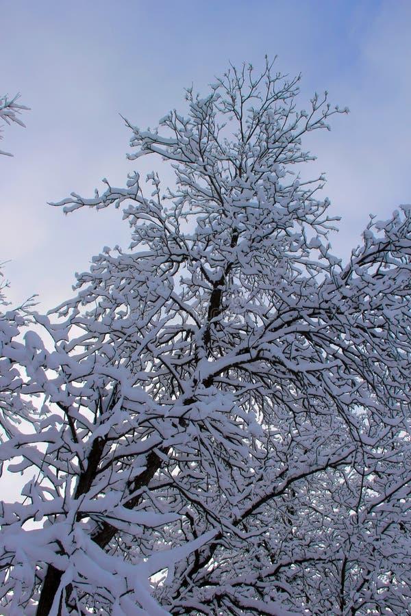 Sneeuw die zich aan een eiken boom in hemel van de de winter de bewolkte winter vastklampen royalty-vrije stock afbeelding