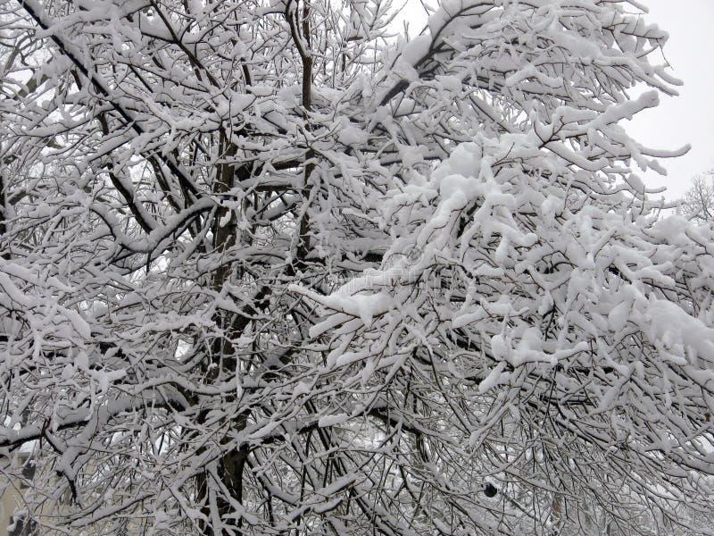 Sneeuw en Ijs Behandelde Boom en Takken stock afbeelding