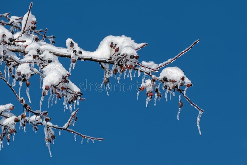 Sneeuw en Ijs op de Boom van Krabapple royalty-vrije stock afbeelding