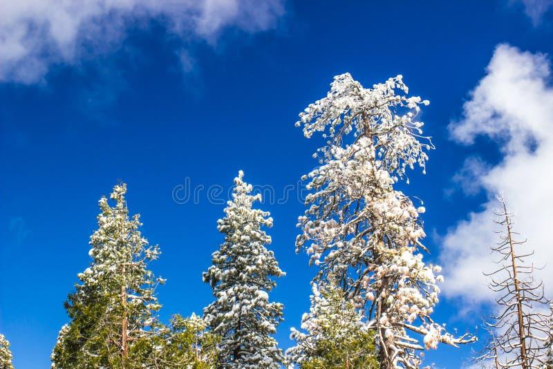 Sneeuw Geladen Bomen op Zonneschijndag stock foto