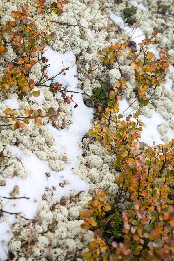 Sneeuw, mos en vossebessen De zomer in de Altai-bergen, Rusland stock foto's