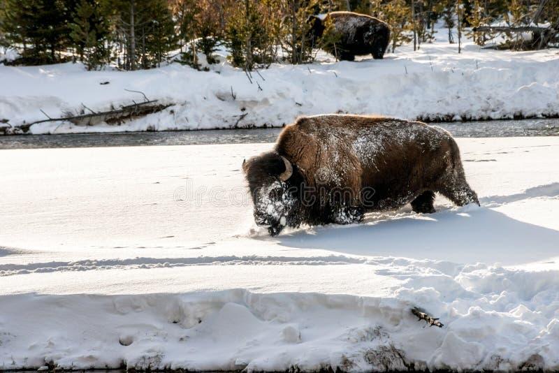 Sneeuw-onder ogen gezien Bizon stock afbeelding