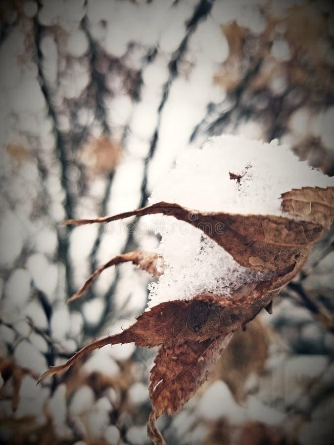 Sneeuw op blad stock afbeelding