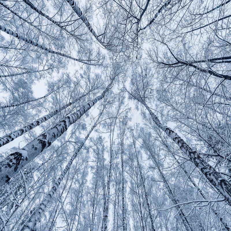 Sneeuw op de berkbomen royalty-vrije stock afbeeldingen