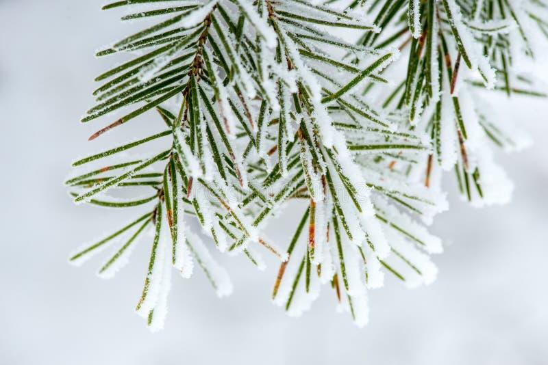 Sneeuw op Pijnboomnaalden die wordt verzameld stock fotografie