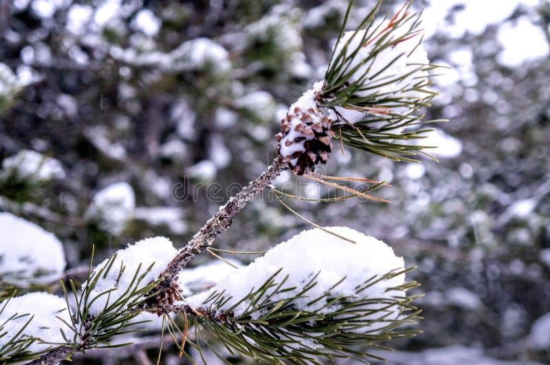 Sneeuw op pijnboomnaalden royalty-vrije stock foto