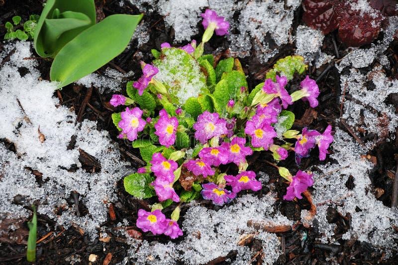 Sneeuw op sleutelbloemen op koude dag in de vroege lente royalty-vrije stock afbeeldingen