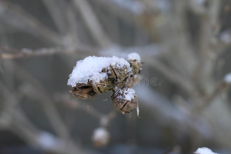 Sneeuw op takken en dood fruit stock afbeeldingen