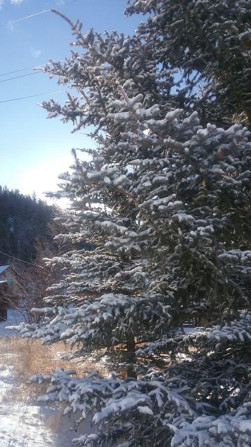 Sneeuw pijnboom stock fotografie