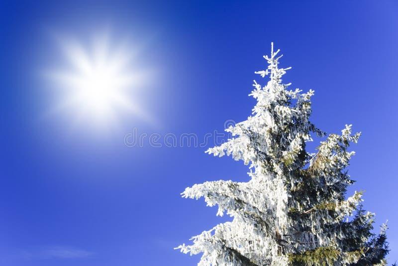 Sneeuw pijnboom met zon stock fotografie