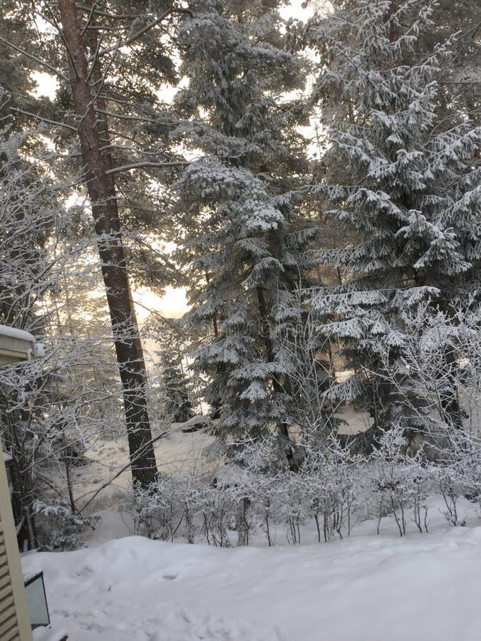 Sneeuw in pijnboombos stock afbeeldingen