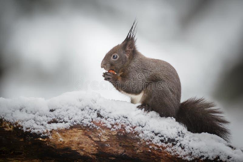 Sneeuw rode eekhoorn stock fotografie