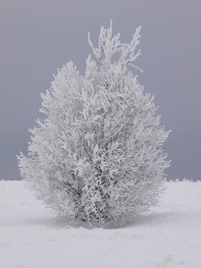 Sneeuw struik, alleen op het gebied royalty-vrije stock afbeeldingen