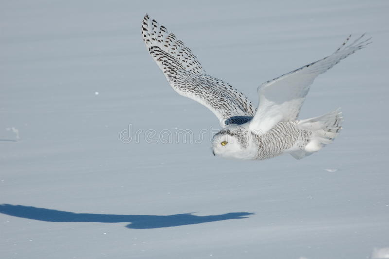 Sneeuw Uil royalty-vrije stock foto