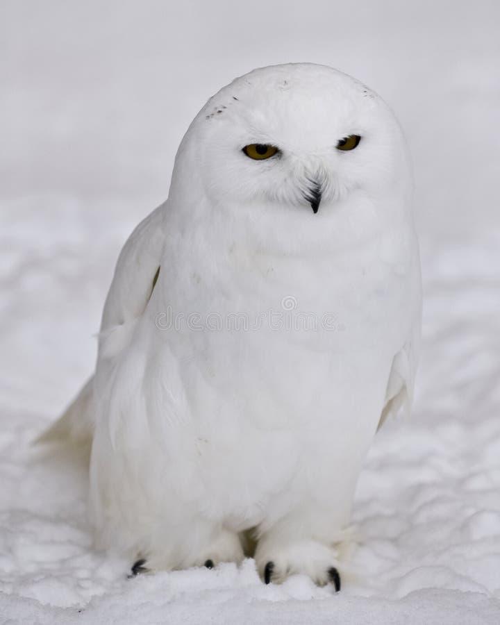 Sneeuw Uil stock afbeeldingen