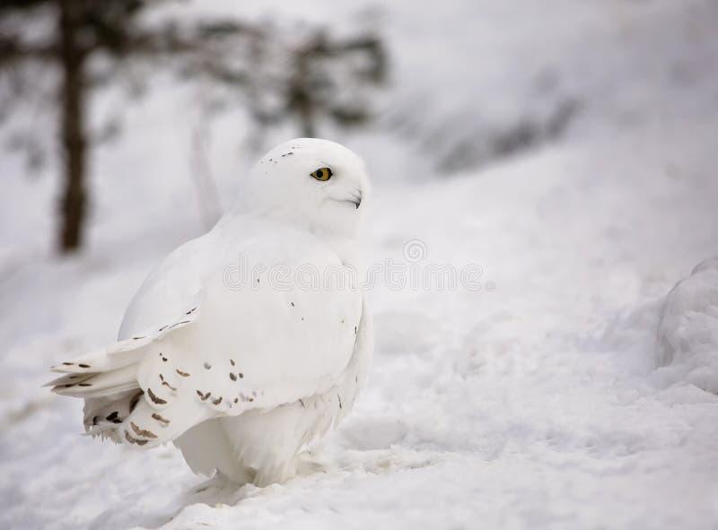 Sneeuw uil stock fotografie