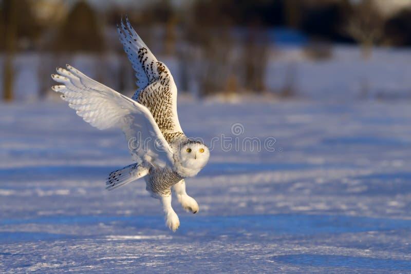 Sneeuw uil royalty-vrije stock afbeelding