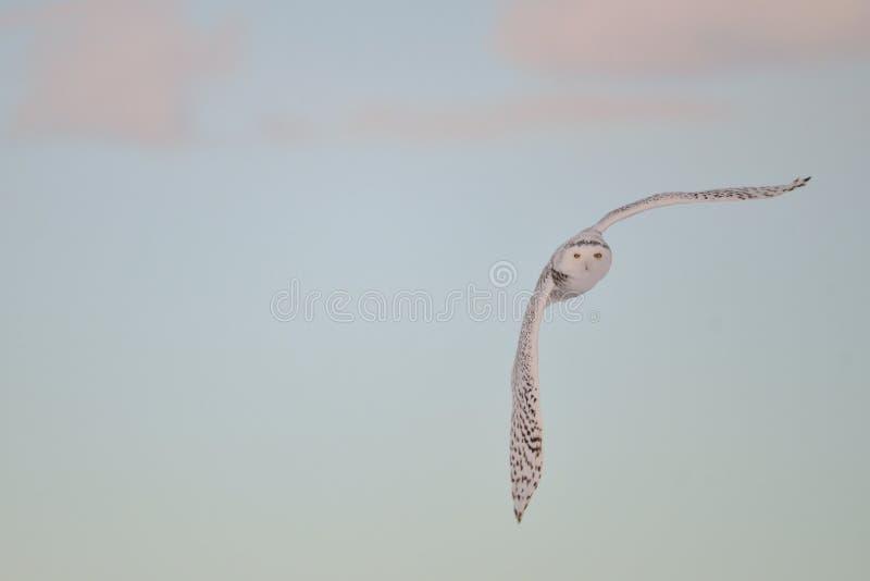 Sneeuw Uil die bij zonsondergang vliegt royalty-vrije stock foto