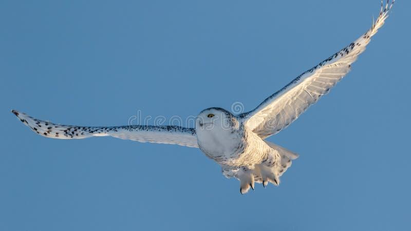 Sneeuw Uil tijdens de vlucht royalty-vrije stock afbeeldingen