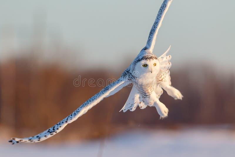 Sneeuw Uil tijdens de vlucht stock foto