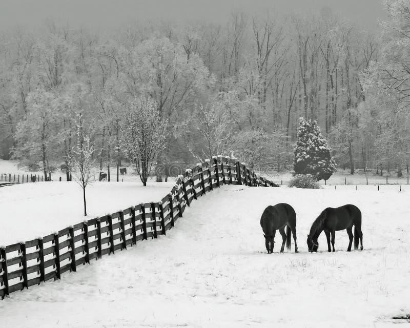 Sneeuw weide & paarden royalty-vrije stock fotografie