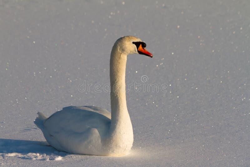 Sneeuw zwaan stock foto's