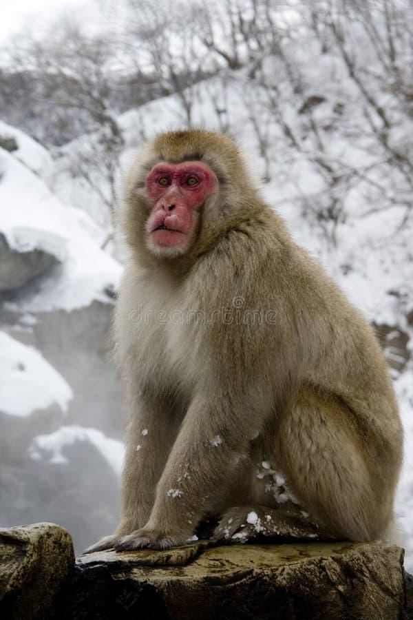Sneeuwaap of Japanse macaque, Macaca-fuscata royalty-vrije stock foto
