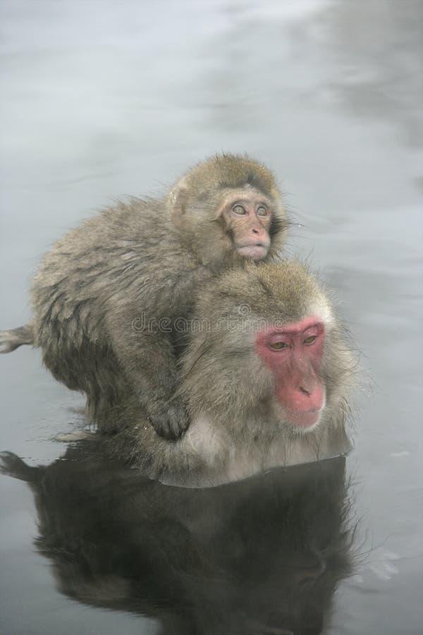 Sneeuwaap of Japanse macaque, Macaca-fuscata stock fotografie