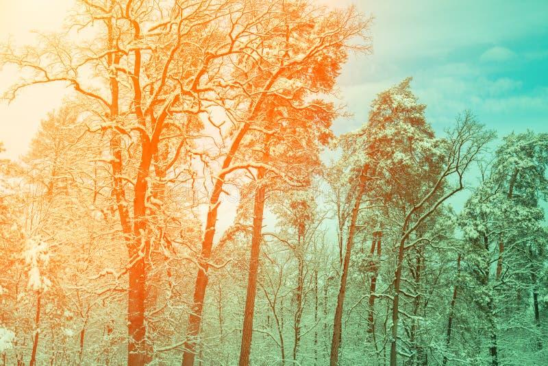 Sneeuwbos bij zonsopgang stock foto's