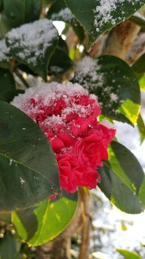 Sneeuwcamillia stock afbeelding