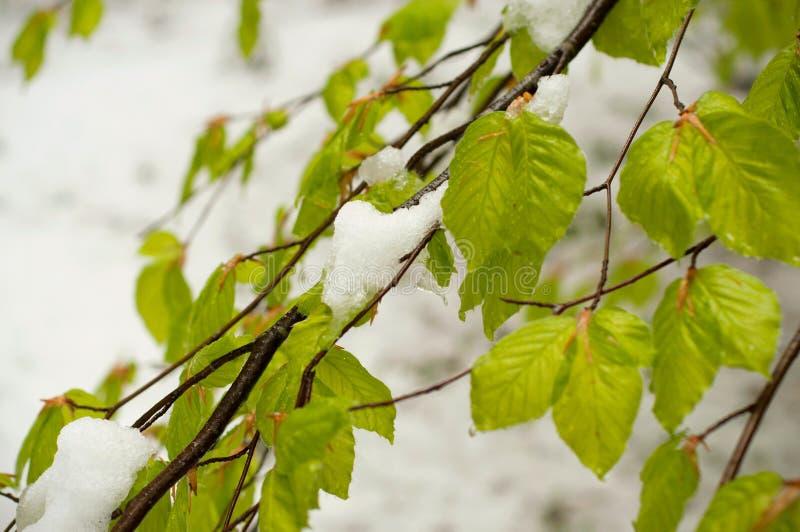 Sneeuwcycloon in April Groene die bladeren van bomen met sneeuw worden behandeld stock afbeelding