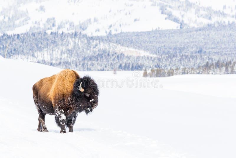 Sneeuwdiebizon in sneeuw in het Nationale Park van Yellowstone wordt behandeld royalty-vrije stock fotografie