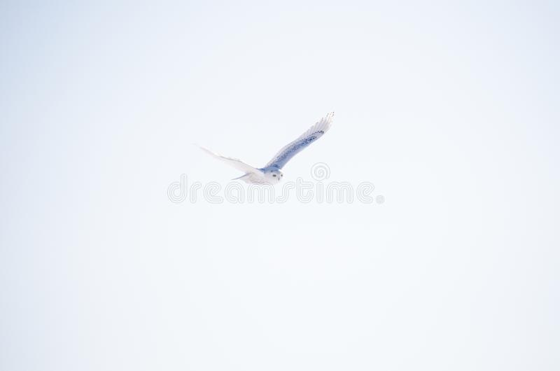 Sneeuwdieuil tijdens de vlucht, draagwijdte, over blauwe hemel wordt uitgespreid stock foto