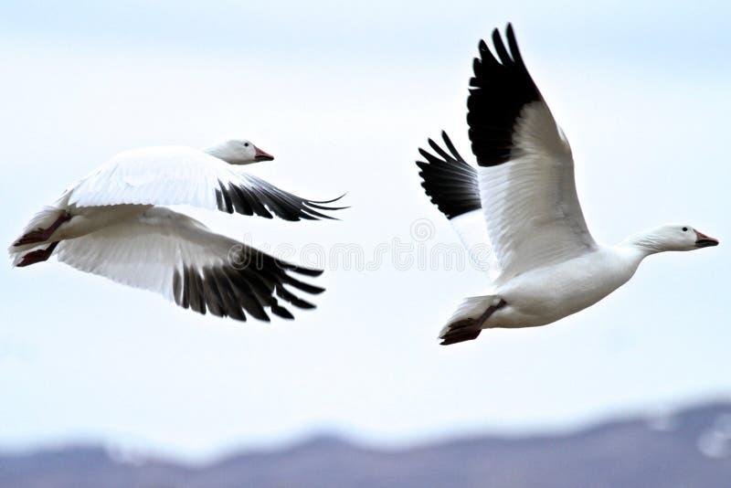 Download Sneeuwganzen Tijdens De Vlucht In New Mexico Stock Foto - Afbeelding bestaande uit wildlife, vogels: 107708364