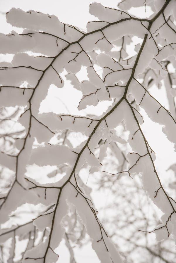 Sneeuwhoed op een tak van een boom royalty-vrije stock foto's