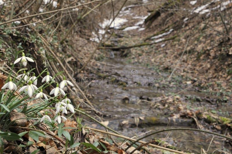 Sneeuwklokjes in bos stock foto