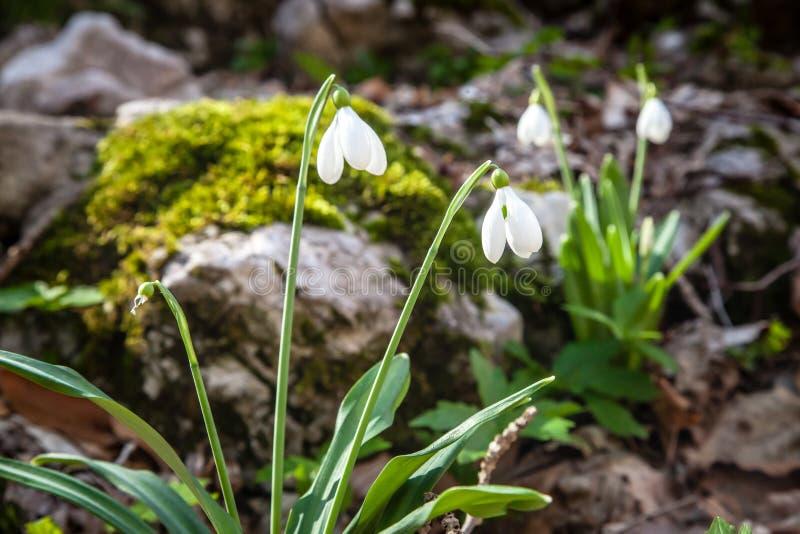 Sneeuwklokjes in de lente royalty-vrije stock afbeeldingen