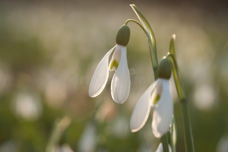 Sneeuwklokjes Galanthusare die in backlight tot bloei komen stock afbeeldingen