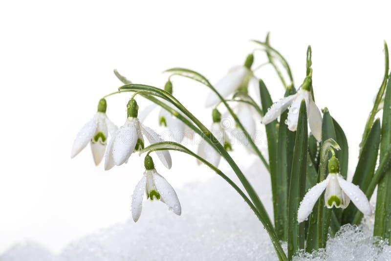 Sneeuwklokjes in sneeuw stock afbeelding