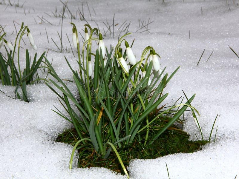 Sneeuwklokjes in sneeuw stock fotografie
