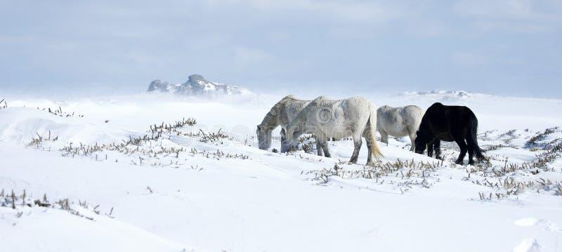Sneeuwlandschap met poneys in het Nationale Park van Dartmoor stock afbeeldingen