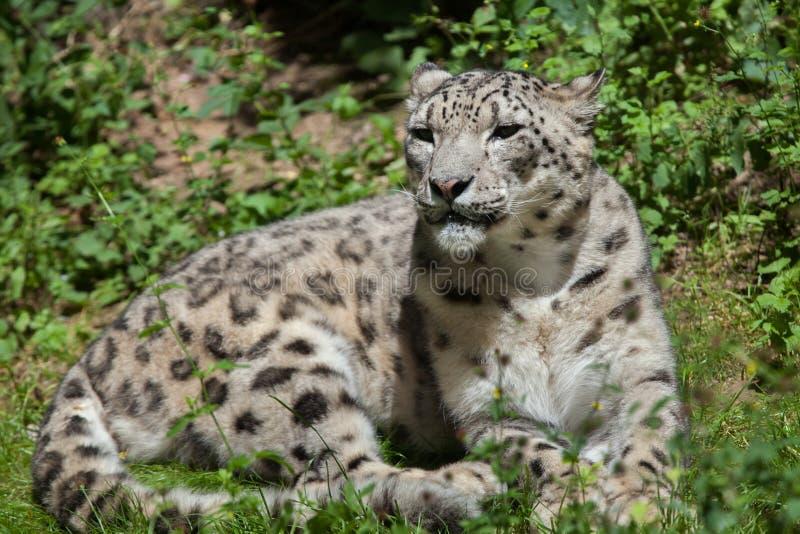Sneeuwluipaard & x28; Panthera uncia& x29; royalty-vrije stock foto