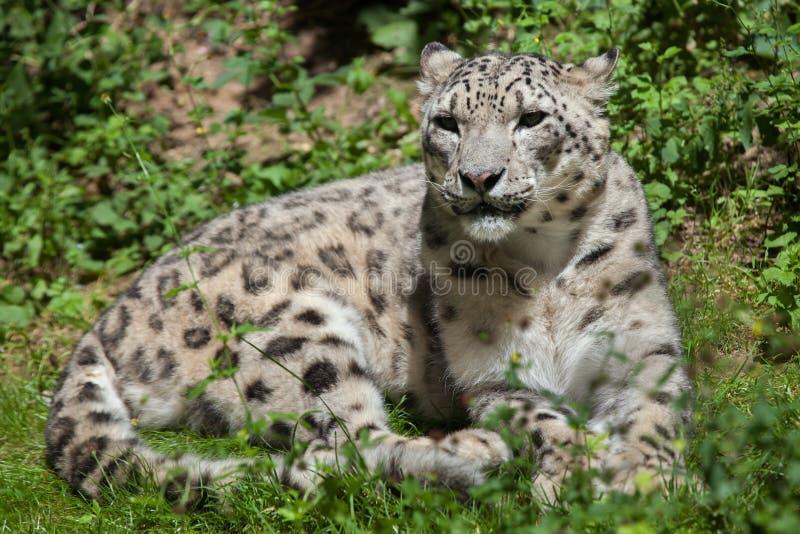 Sneeuwluipaard & x28; Panthera uncia& x29; stock afbeelding