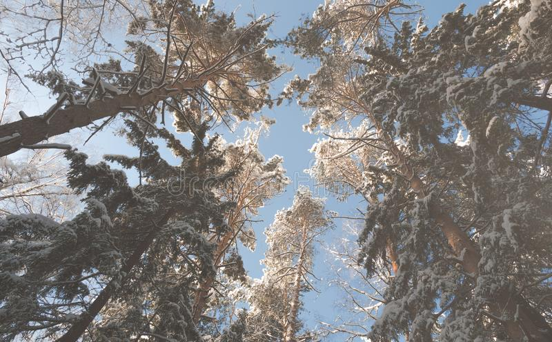 Sneeuwoude wijven van bomen royalty-vrije stock afbeeldingen