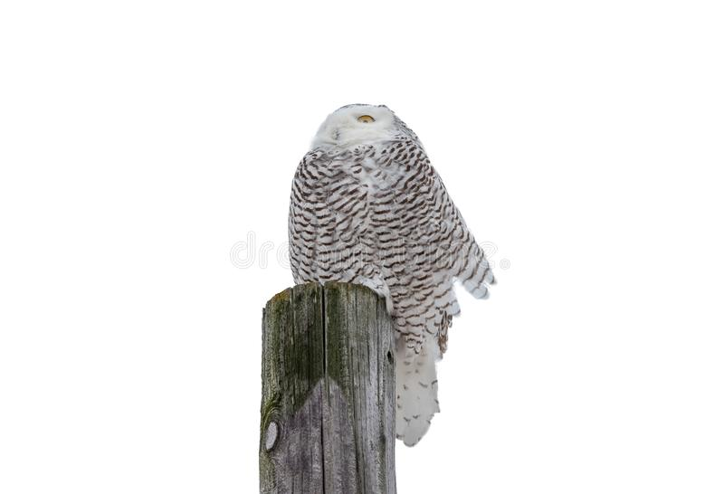 Sneeuwowl facing into de Wind stock foto