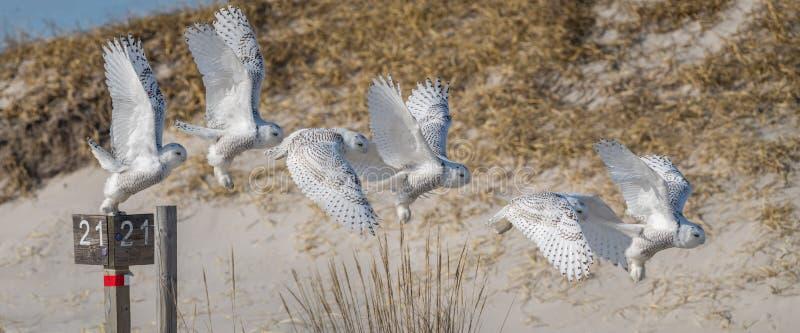 Sneeuwowl flight sequence royalty-vrije stock fotografie