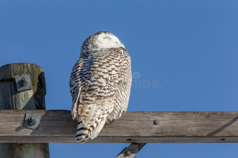 Sneeuwowl looking in de Zon stock foto