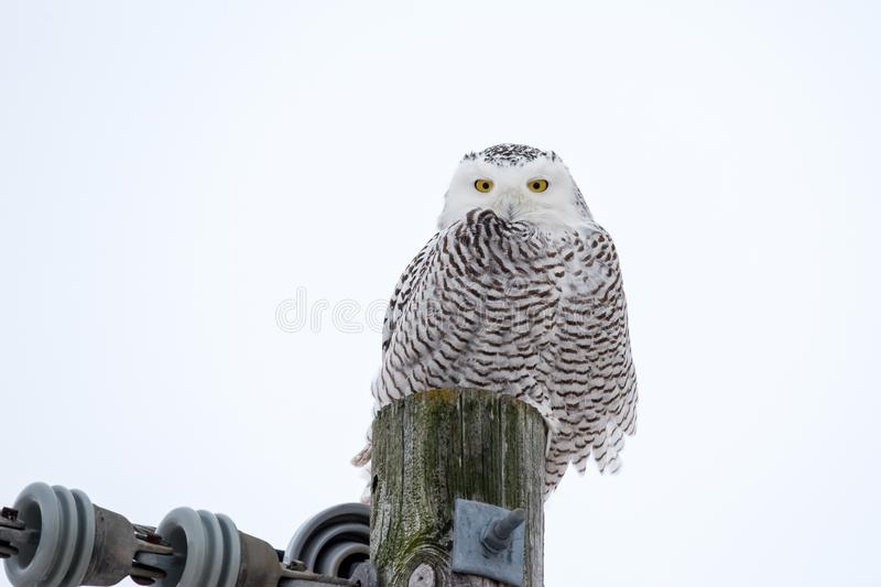 Sneeuwowl sitting op een Nut Pool stock foto